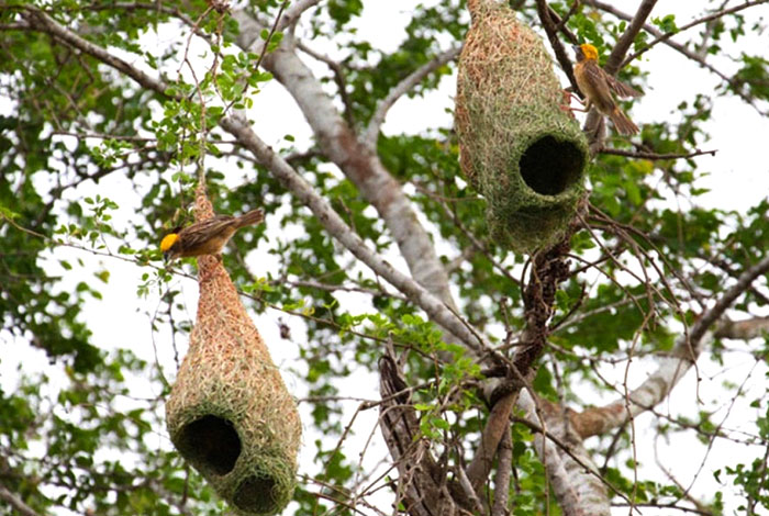 Weaver Birds, Chisa Busanga Camp, Chisa Nest, Busanga Plains